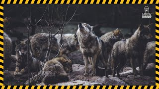 Wolf Wolves Howling Sound Effect Free Download   MP3 WAV   Pure Sound Effect