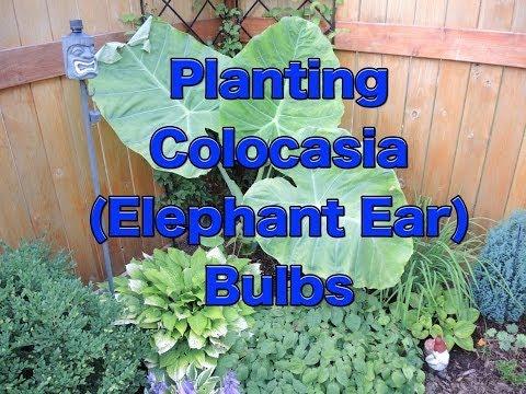 Planting Colocasia Esculenta Bulbs