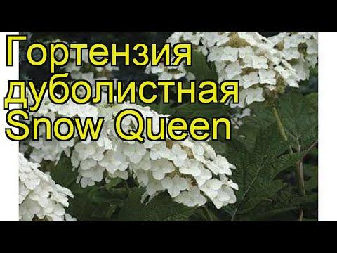 Гортензия дуболистная Сноу Квин. Краткий обзор, описание hydrangea quercifolia Snow Queen