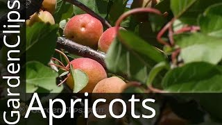 Apricot - Prunus armeniacum - How to Grow Apricots - How to prune Apricot Tree