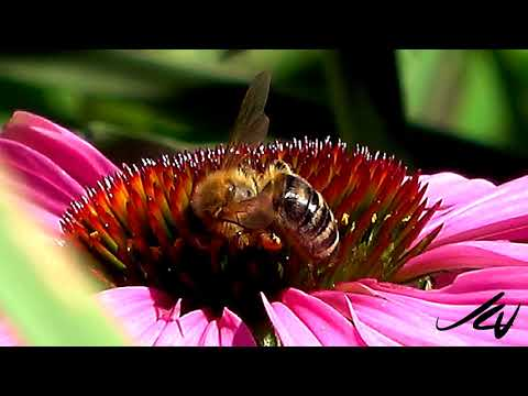 Bees at 480 fps, HD and 4K Ultra HD  - Sony HDR AX 700 - YouTube