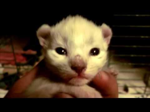 Exotic Rare Kitten -  lynxHybrid  - Time lapse 2 years in 6min