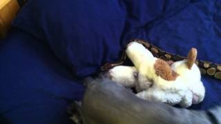 Ball Python And Schnauzer Are Best Friends!