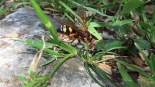 Cicada killer wasp carries prey to nest