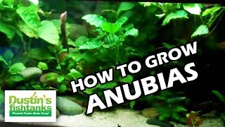 How to grow Anubias in the Planted Aquarium, Anubias Melt- Bryans Aquarium