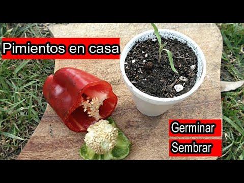 Cultivo De Pimientos En Casa Como Sembrar Pimiento Chile Ají Germinar Pimientos Youtube
