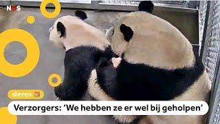 Panda's in Rhenen hebben gepaard