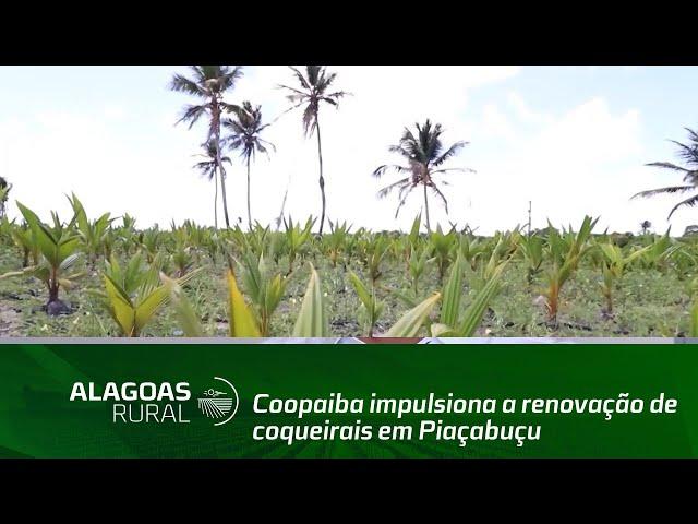 Coopaiba impulsiona a renovação de coqueirais em Piaçabuçu