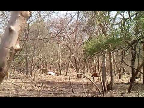 11+ Lion family attack on cow at gir forest Gujarat