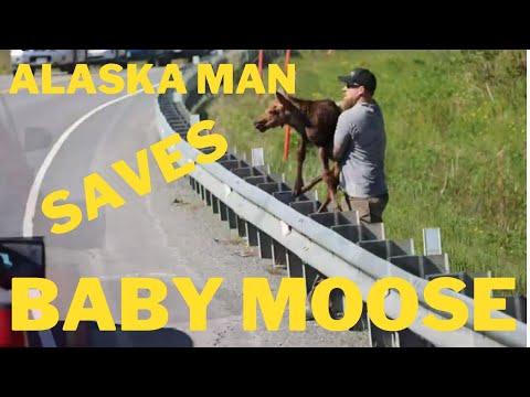 Alaska-Man-Saves-Baby-Moose