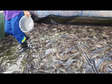 การเลี้ยงปลาดุกในบ่อปูน
