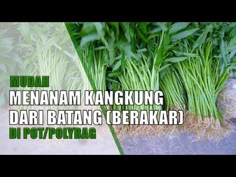 Tanam Kangkung Cepat Tumbuh Panen Dalam Pot Atau Polybag | Hidroponik Sederhana
