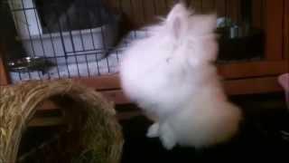 MEET ANGEL! Worlds cutest baby bunny rabbit.