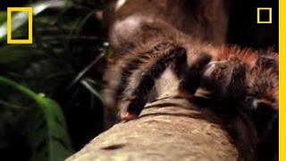 World's Biggest Spider | National Geographic