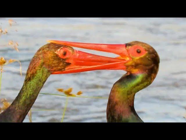 Storks Beak Gets Stuck in the Others Throat