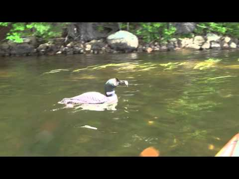 Adult Female Loon Diving And Chasing Fish In NH