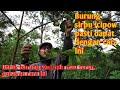 Mikat Burung Sirtu Sirpu Cipow Menggunakan Tekhnik Gantung Saka I S Channel  Mp3 - Mp4 Download