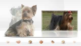 Le Yorkshire Terrier, Un Chien De Chasse Devenu Un Compagnon Très Prisé
