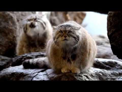 Самый ПУШИСТЫЙ И ЛЕНИВЫЙ из диких котов