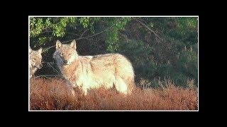 Zwierz�, kt�re pogryz�o dzieci w Bieszczadach, to wilk. Potwierdzi�y to badania genetyczne