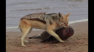 JACKAL ATTACKS SEAL PUP | Planet Michaels
