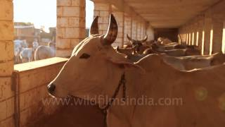 Dairy farming at Jaisalmer