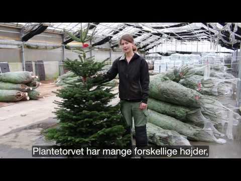Nordmannsgran Juletræ