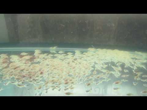 Сомики  альбиносы коридорасы / Корм для рыб/Аквариум 150 литров