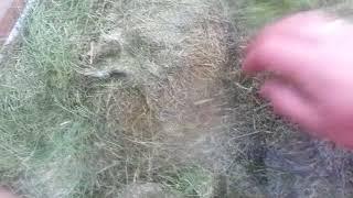 Газонная трава/Разведение червя дендробена(, 2018-08-08T15:07:05.000Z)