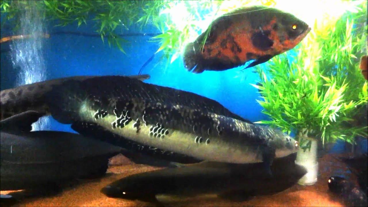 Snakehead Giant Fish