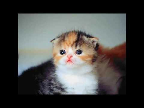 Cara Membersihkan Kuping Kucing Persia Doovi