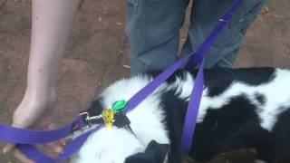 How To Make A Dog Harness From A Long Leash.