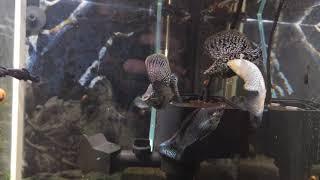 Велифера снежинка , мокрый асфальт, далматин, Velifera , molly fish