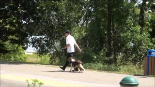Indy (sheltie) Trained Dog Video