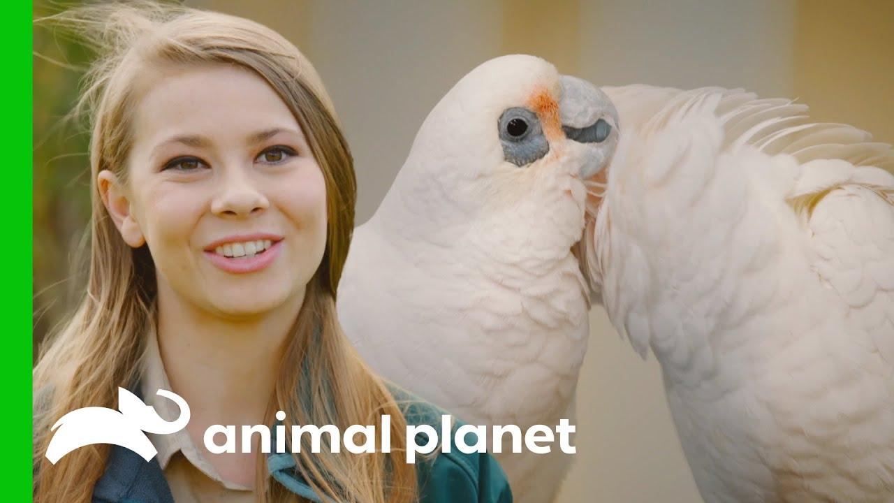 Bindi Irwin and Australia Zoo Team Save Poisoned Corellas   Crikey! It's the Irwins