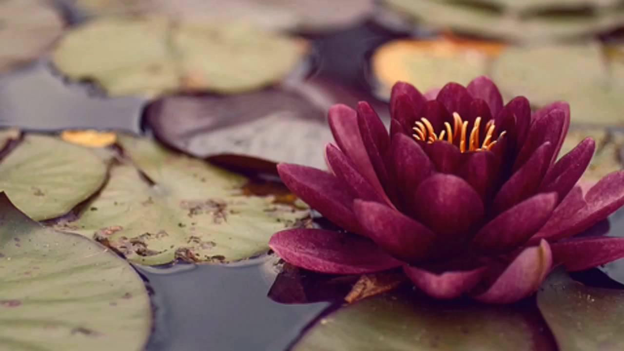 purple cloud lotus blossom youtube