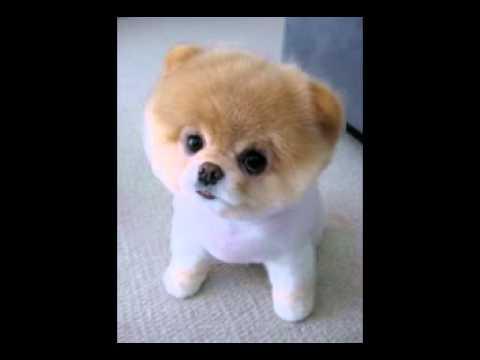 Happy Birthday To You Cute Little Pooh The Pomeranian Puppy Sings Her Very Own Funny Version Of