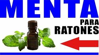 Menta para ahuyentar ratones ⭐ con: ACEITE - PLANTA - HOJAS