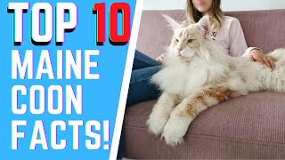 The Maine Coon 101 : TOP 10 FACTS YOU DID NOT KNOW ABOUT THE BREED
