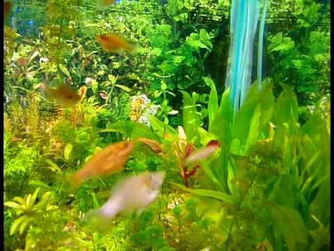 Pecera hanner acuario de agua dulce peces y plantas for Peces de agua dulce para peceras