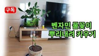 벤자민 식물 가지 물꽂이하여 뿌리내려 화분에 심어 키우…