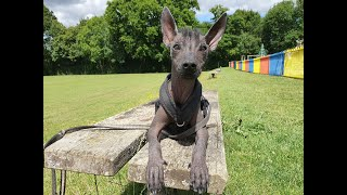 Elek the Xoloitzcuintli Puppy - 3 Weeks Residential Dog Training