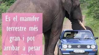 l' elefant - el mamifer terrestre mes gran