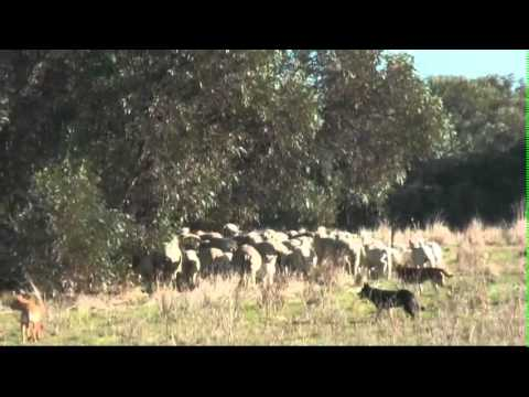 Droving with Kelpies working cattle/cows with calves and ewes/lambs plus weaned lambs