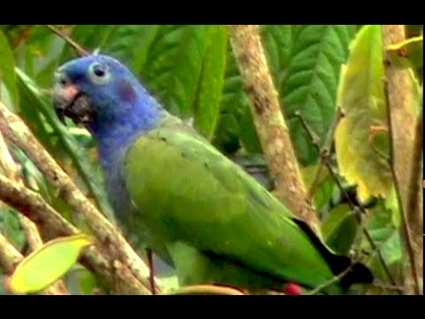 Blue-headed Parrot, Pionus menstruus, loro cabeciazul, Schwarzohrpapagei