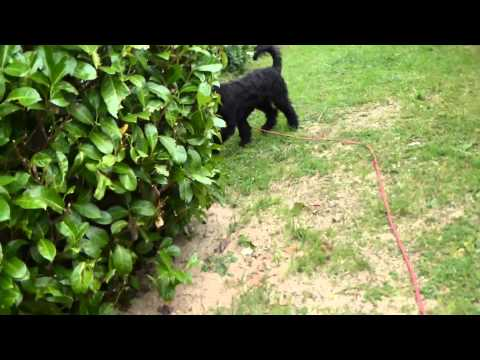 Retrieving 101 for the Barbet: French Waterdog