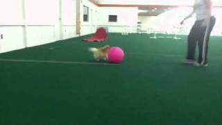 Regina (pomeranian) Practicing Treibball (ball Herding)