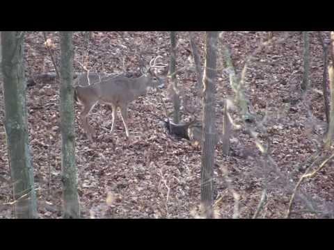Ohio Whitetail hunt, muzzleloader. Cool ending, Buck flips over dead doe.