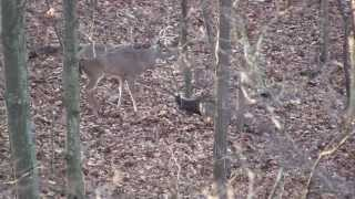 Ohio Whitetail hunt, muzzleloader. Cool ending, Buck flips over dead doe.