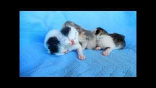 Exotic Shorthair Kittens Litter of Four 2 days old